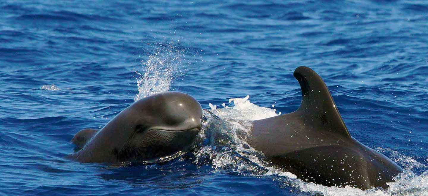 private whale and dolphin watching tours from Puerto Colón Costa Adeje