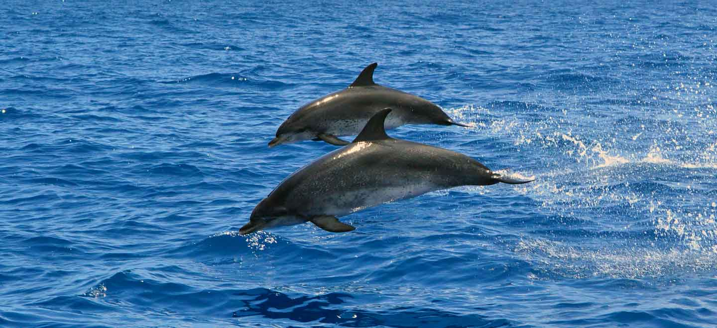 The Atlantic Spotted dolphins are commonly seen on the Costa Adeje Tenerife
