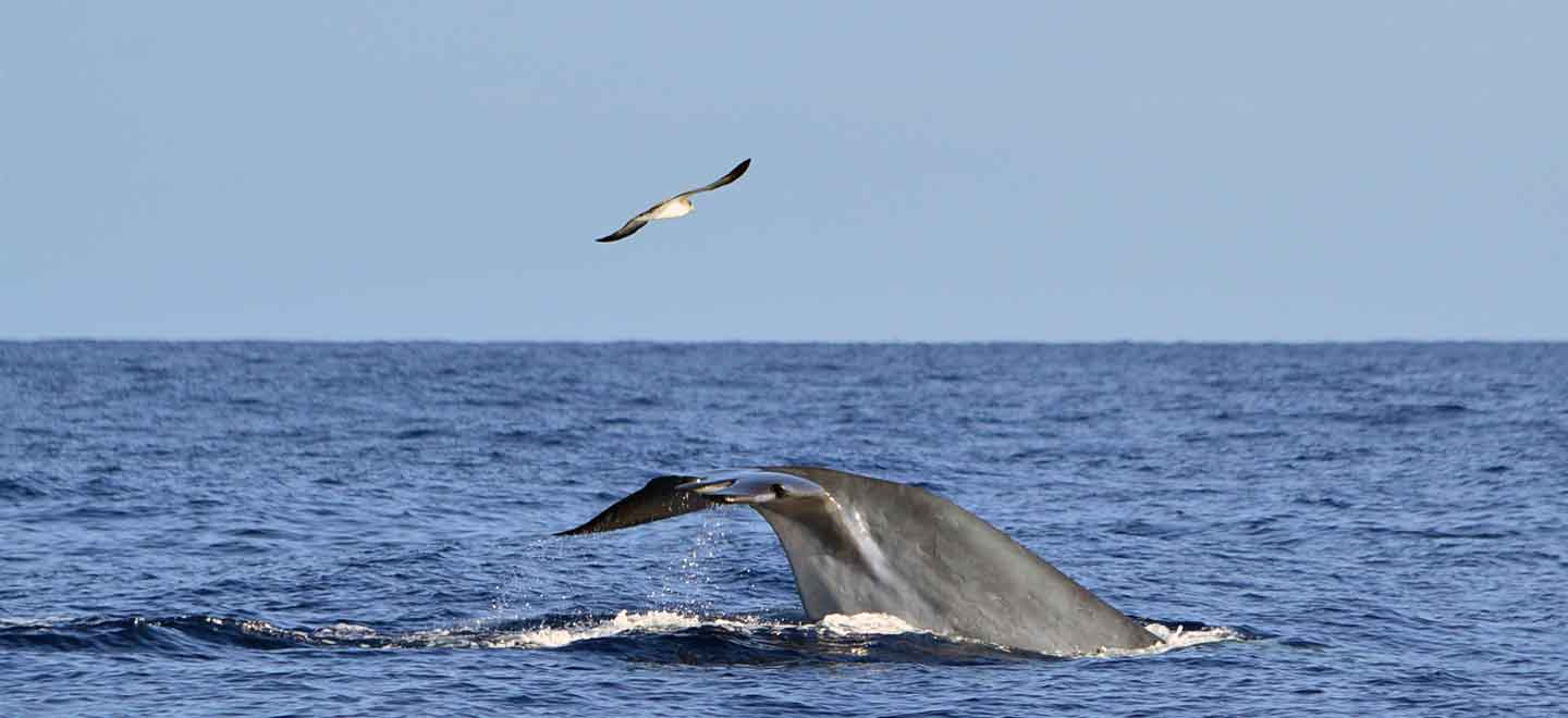 Bryde's whales are the most common species of baleen whales seen on Tenerife whale watching tours in Costa Adeje