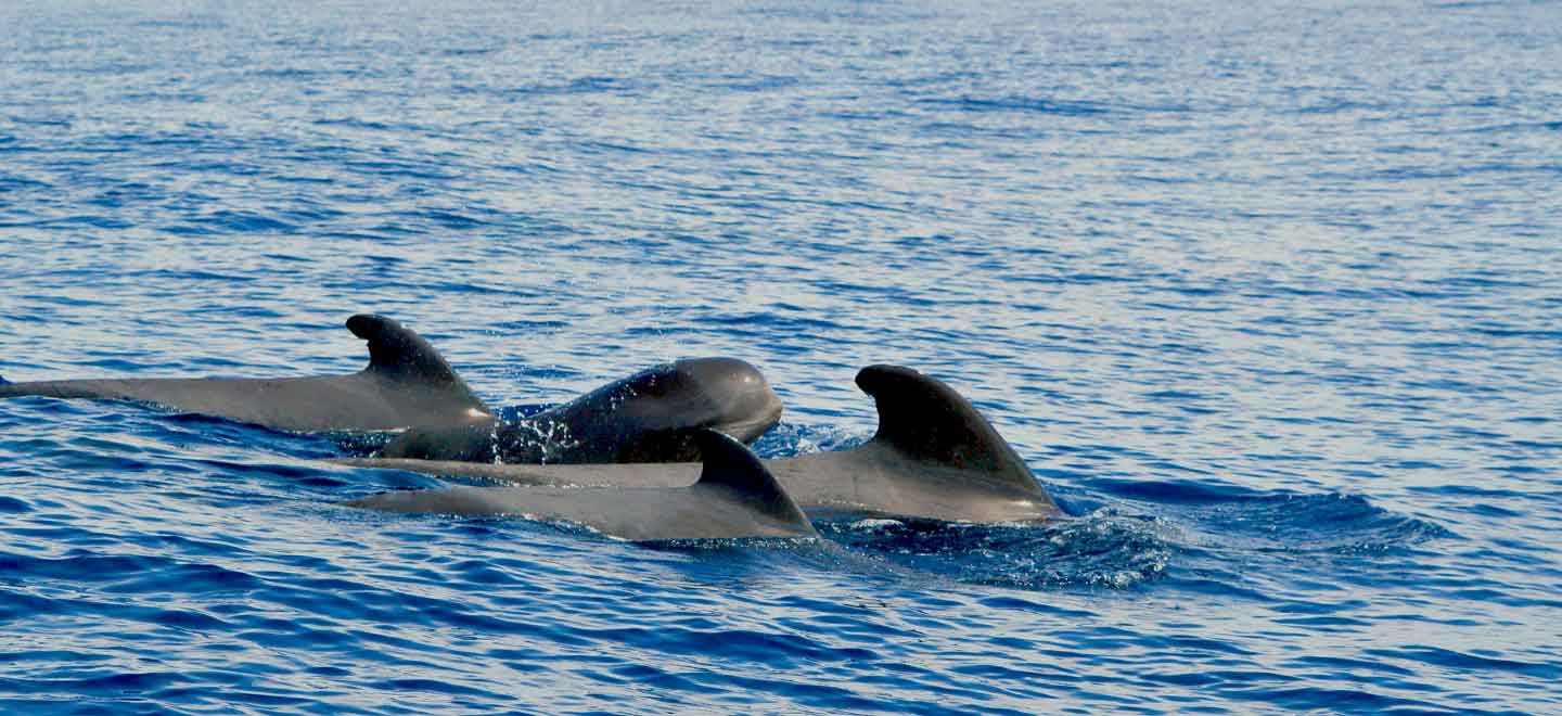 whale and dolphin research projects in Tenerife