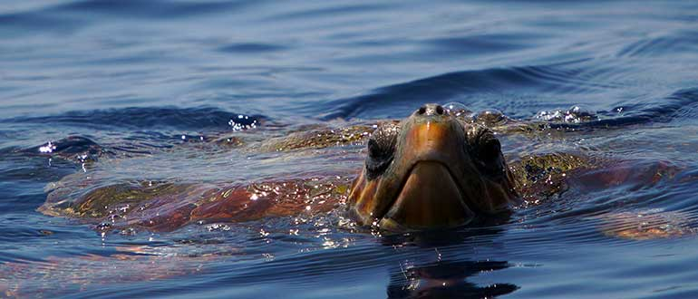 In Tenerife the Loggerhead sea turtle is the most common species.