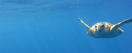 underwater video of a curious Loggerhead Sea turtle on our tours