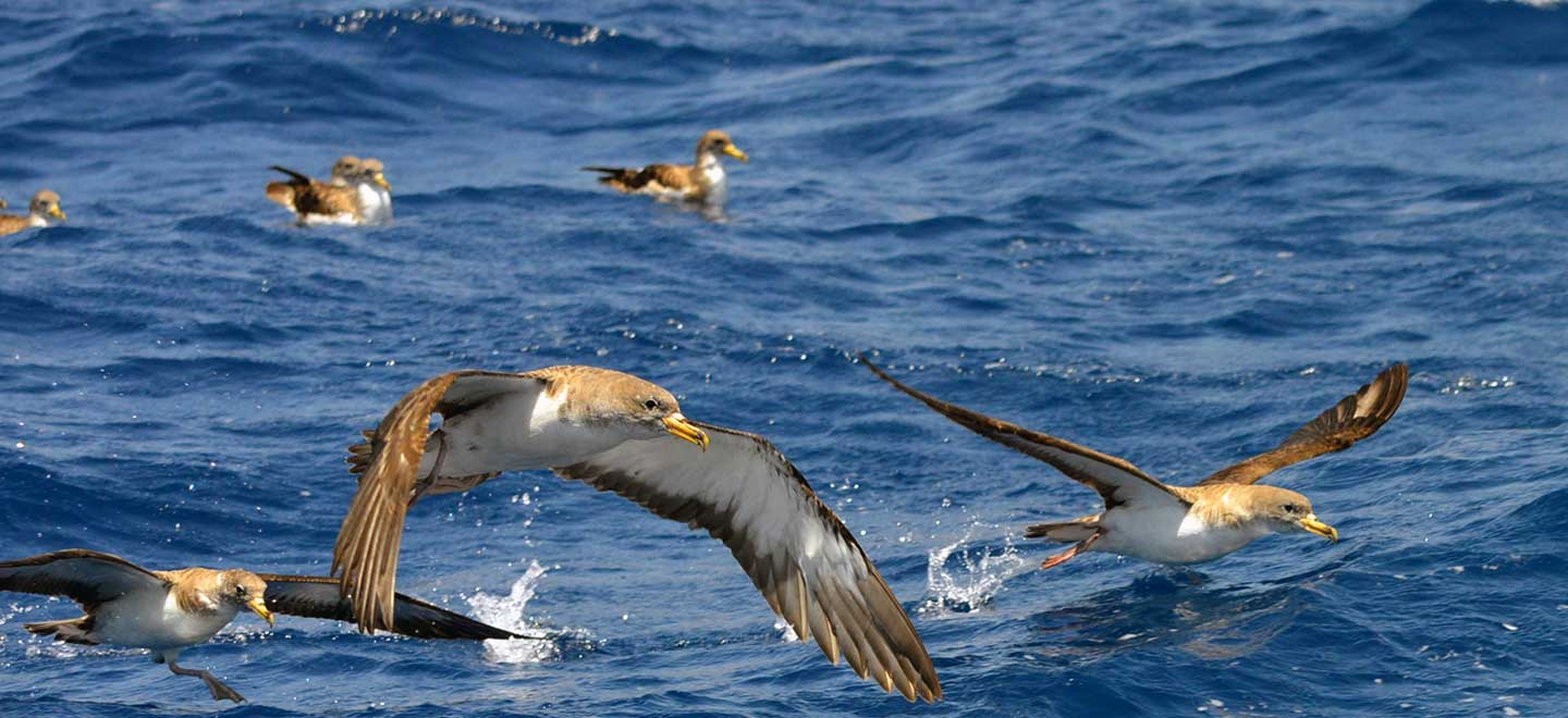 The most common species of marine birds seen on our whale and dolphin watching tours in Tenerife.