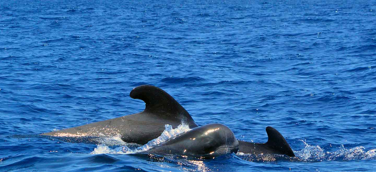 pilot whales are the most common species in Tenerife