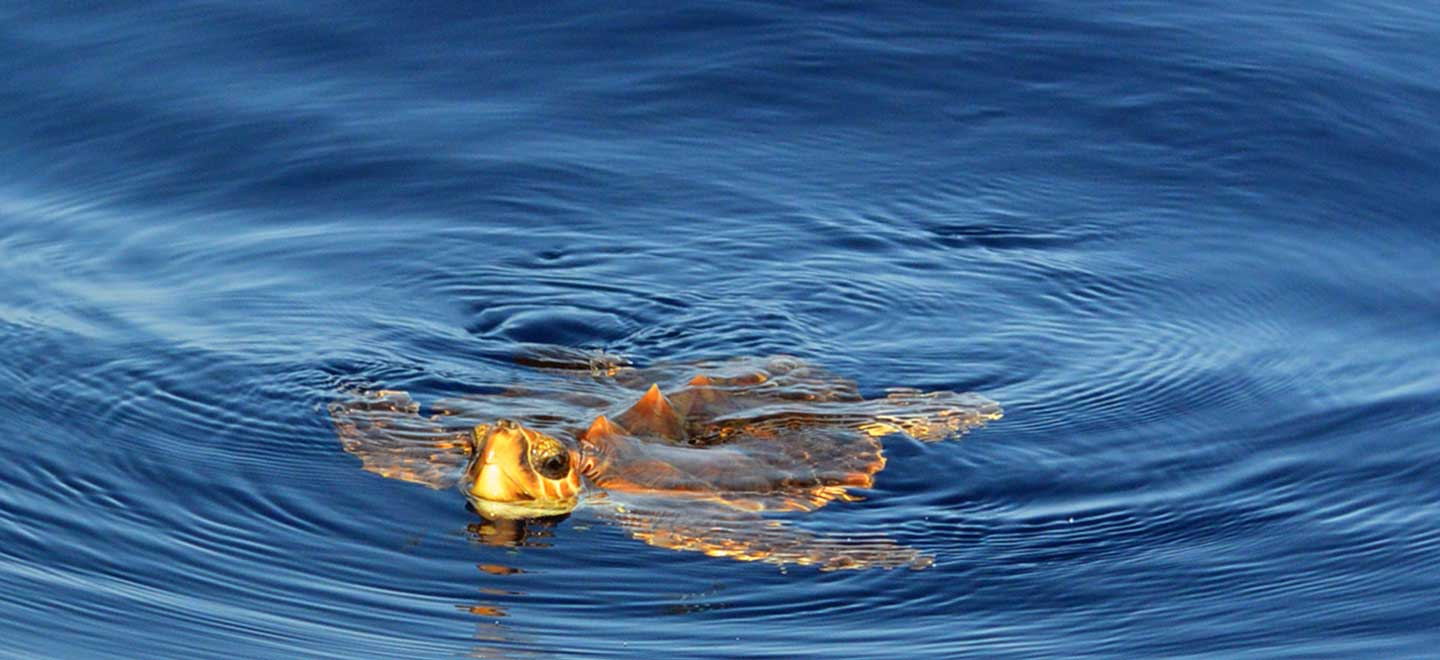 Tenerife is home to several species of Sea turtles.
