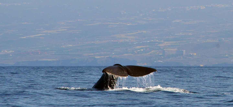 Sperm whales in Tenerife