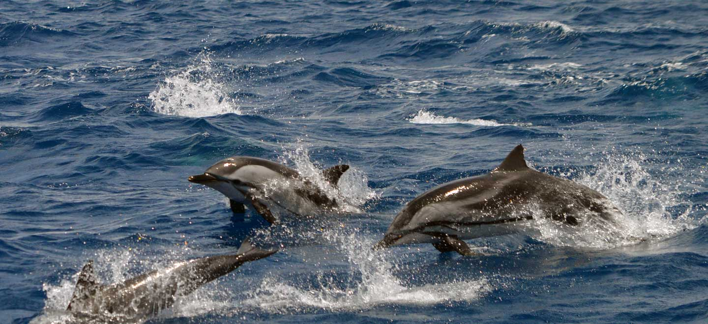 Striped dolphins are seen infrequently on Tenerife whale and dolphin watching tours along Costa Adeje.