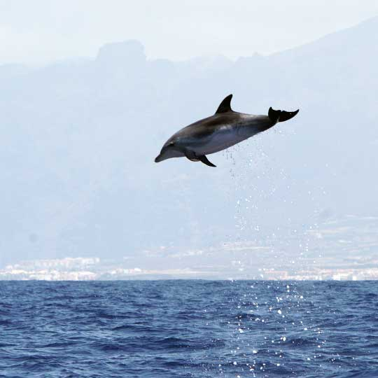 Amazing leap of the powerful Bottlenose dolphins