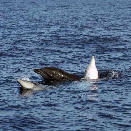 Bottlenose dolphins socialising