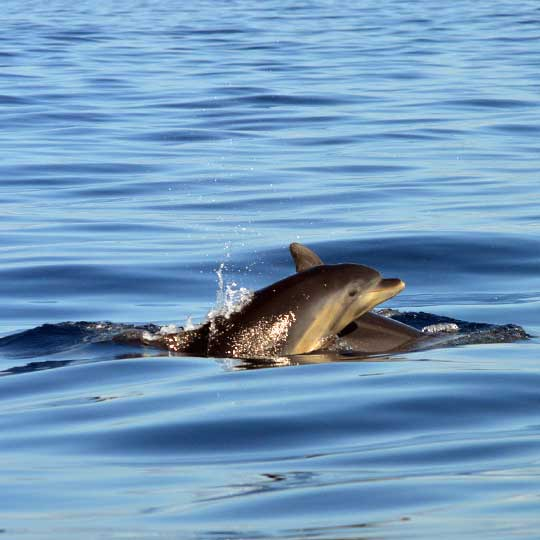Calm seas and Bottlenose dolphins surfacing