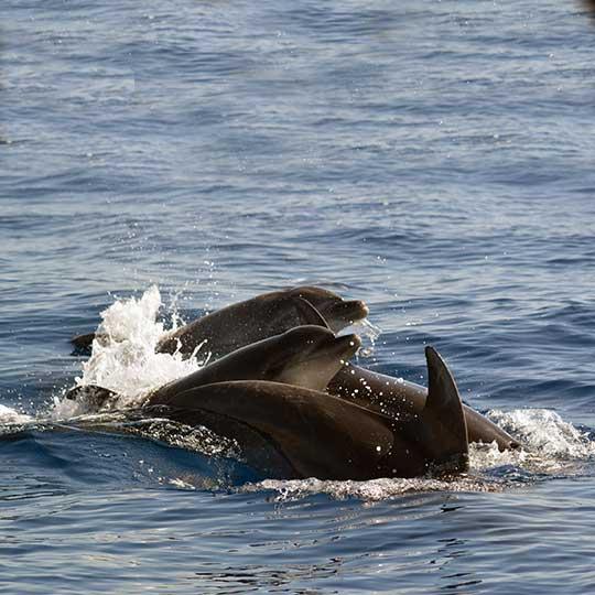 Pod of Bottlenose dolphins in Costa Adeje