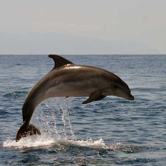 jumping Bottlenose dolphin in Tenerife