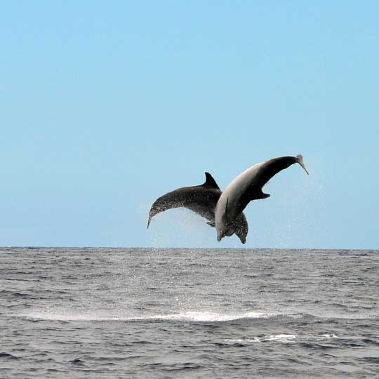 double flip by two Bottlenose dolphins