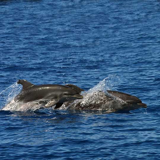 Bottlenose dolphin pod porpoising along Costa Adeje Tenerife