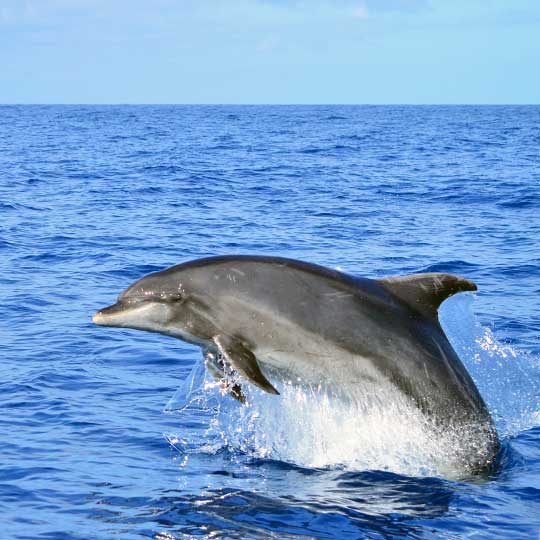 Bottlenose dolphins are the largest of the beaked dolphins