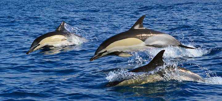 group whale and dolphin watching tours from Puerto Colón Marina Costa Adeje Tenerife